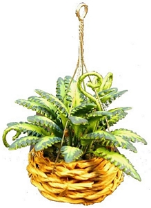 Fern in hanging basket
